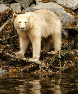 White-fur-coated 'spirit bear.'